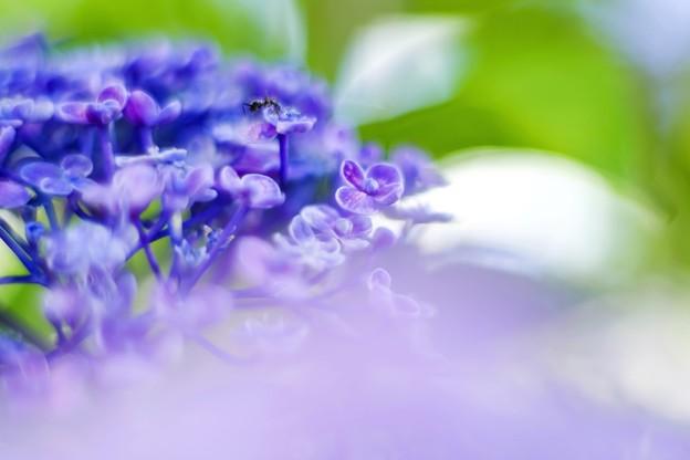 「続・立秋紫陽花 b 」