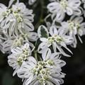 Photos: 8月の庭/ハツユキソウ咲く