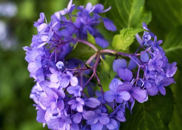 8月の紫陽花/鮮彩残色