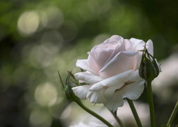 daylight  瑕疵のある薔薇