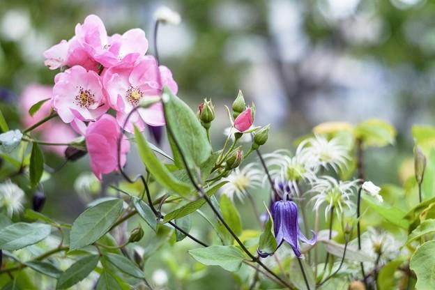 9月の庭/バラとクレマチスと優しさと