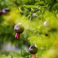 Photos: 9月の庭/姫柘榴肥える