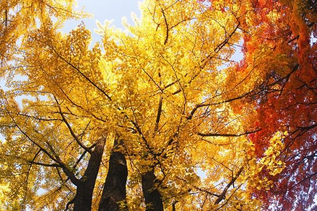 黄葉 vs 紅葉