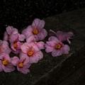 Photos: 「五瓣の椿...のような...」