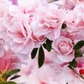 Photos: 華麗な春