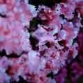 Midnight Pink