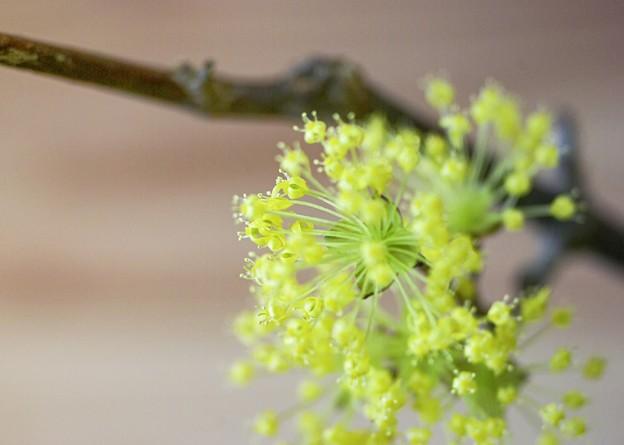 「零れる 春黄金花 」