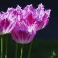 春色 色々/ fringe