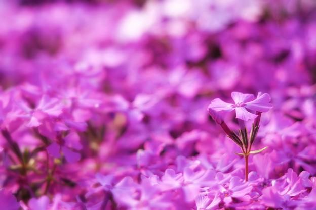 春色 色々/ shiny pinky