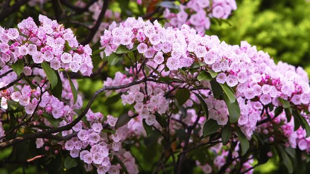 「カルミアピンクの似合う庭」
