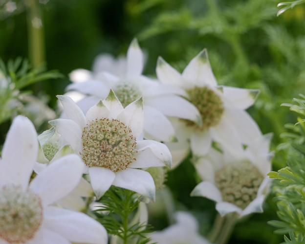 White flowers ******