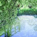 Photos: あの年の5月 中の頃/ズミの降る池