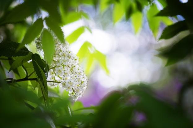 裏・サッポロ花便り/七竈、初夏に咲く