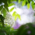 Photos: 裏・サッポロ花便り/七竈、初夏に咲く