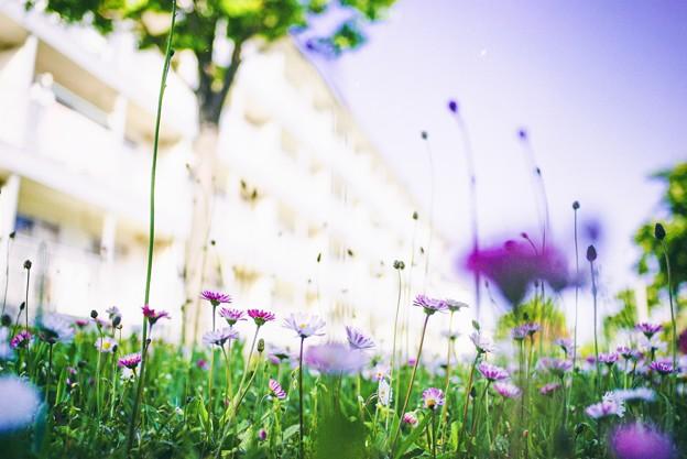 あの年の6月/雛菊咲く 集合住宅