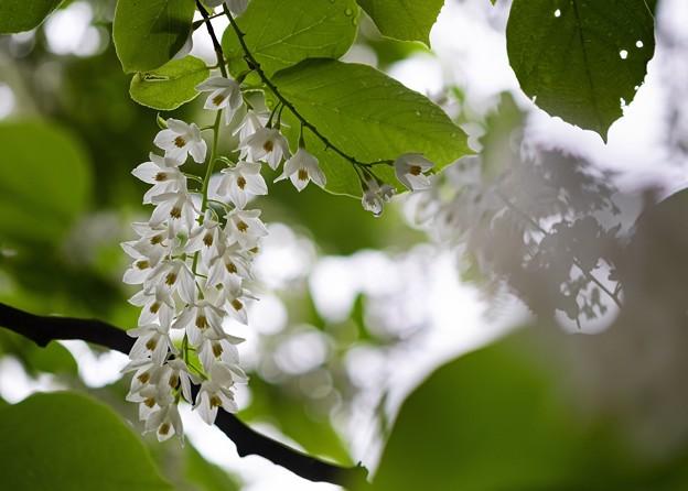 雨後の白[雲]木