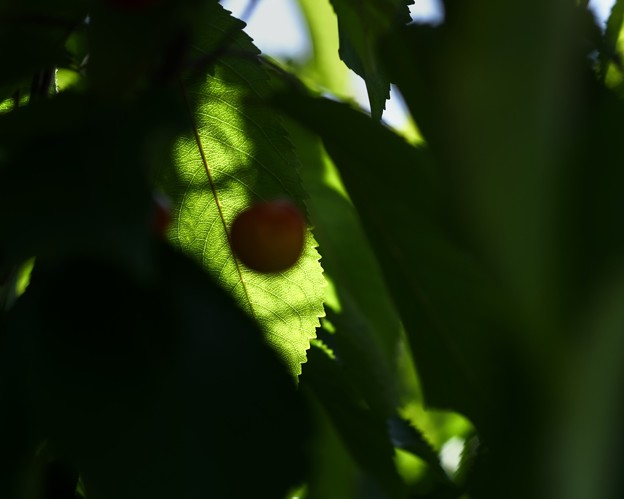 BACK LIGHT- cherry