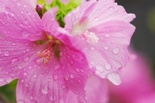 雨に唄えば♪...三番 コケコッコー花くん