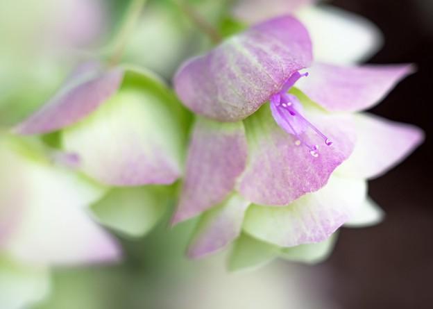雨上がりの午後/唇形花