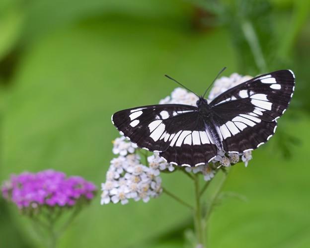 花と蝶/フタスジチョウ