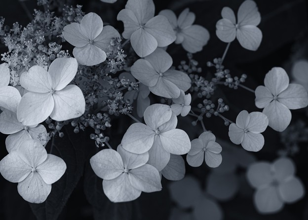 Hydrangea collection 2020/静香