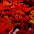 翼果 RED