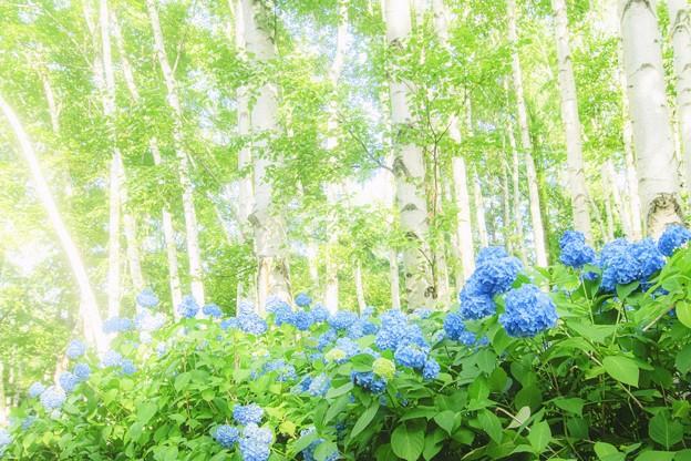 日曜の午後、紫陽花と白樺と...