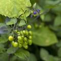 緑の主張/ヒヨドリジョウゴの夏