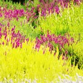 Photos: 「五色刷りヒース」