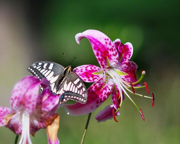 花&蝶 キアゲハ