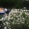 Photos: 9月の庭/旬花