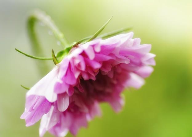 「羞じらう桃色花」