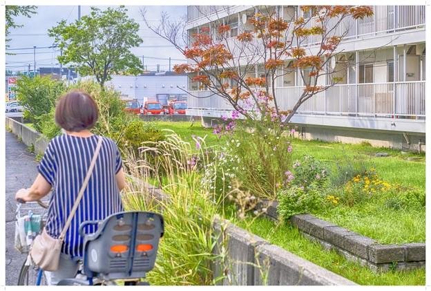 image 昭和/コスモス咲く花壇