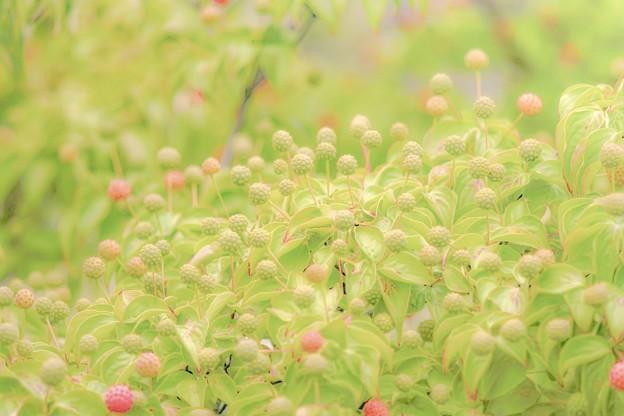 Photos: 過日の果実/ヤマボウシ recipe1