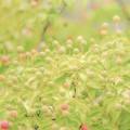過日の果実/ヤマボウシ recipe1