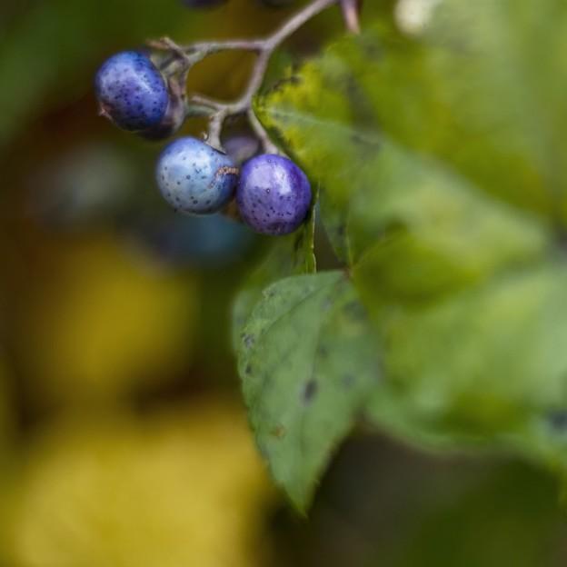 過日の果実/野葡萄