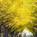 Photos: 北13条通り銀杏トンネル