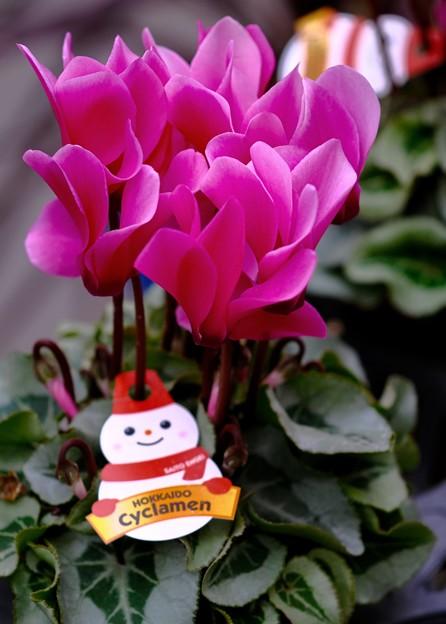 季節の花 -Cyclamen 1-