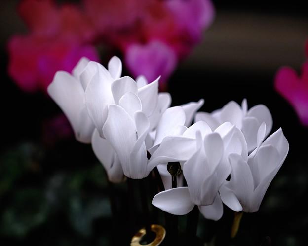 季節の花 -Cyclamen 2-