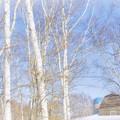 春を待つ (^^♪ 白樺~♪ 青空~