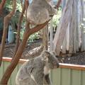 koala004