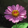 写真: 庭の百日草