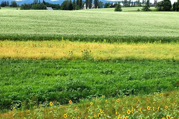 ヒマワリとソバ畑