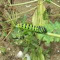 Photos: アゲハチョウの幼虫
