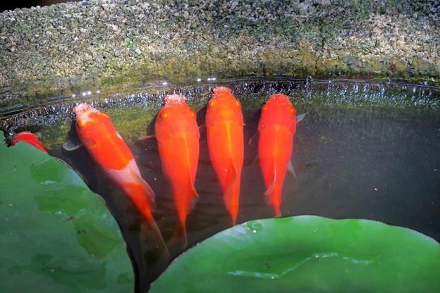 5匹の金魚