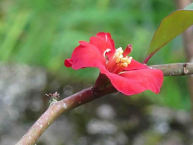 カイドラの花