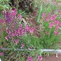 Photos: 庭の花ー4