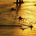 Photos: 黄金色の水面