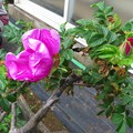 Photos: ハマナスの花