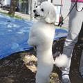 Photos: 立って散歩のワンちゃん